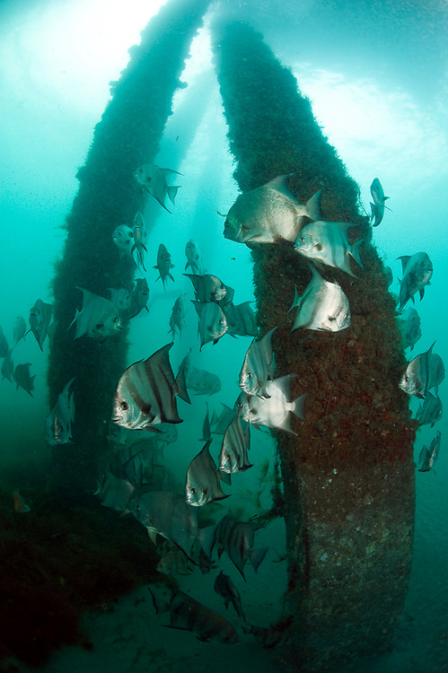 Atlantic Spadefish, Chaetodipterus faber, gather around the pilings of the Juno Beach Pier in Juno Beach, Florida, United States