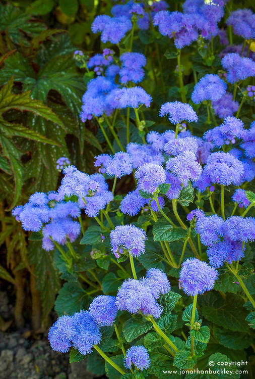 Ageratum houstonianum 'Blue Horizon' with a begonia at Great Dixter