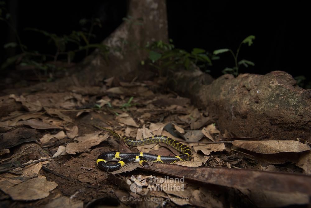 Yellow-barred Wolf Snake (Lycodon laoensis) in Kaeng Krachan district, Thailand