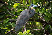 Tricolored heron (Egretta tricolor) perched in pond apple  at Wakodahatchee wetlands, Florida.