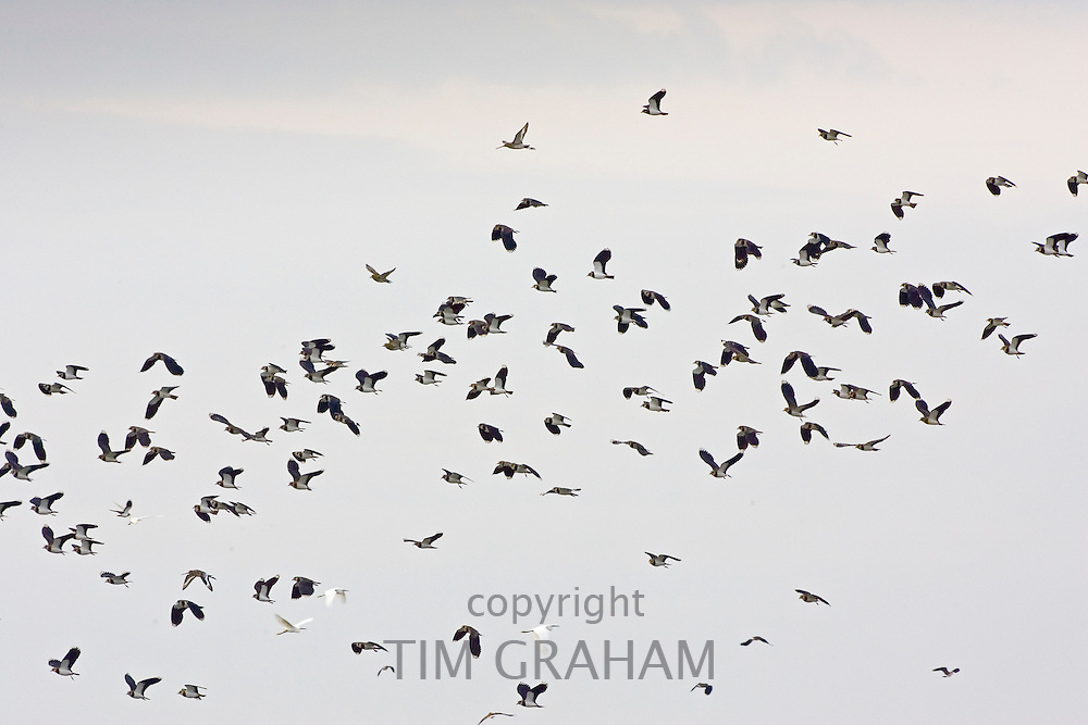 Migratory Lapwings & Cattle Egrets at Thames Estuary.  It is feared that Avian Flu (Bird Flu) could be brought to Britain from Europe by migrating birds.
