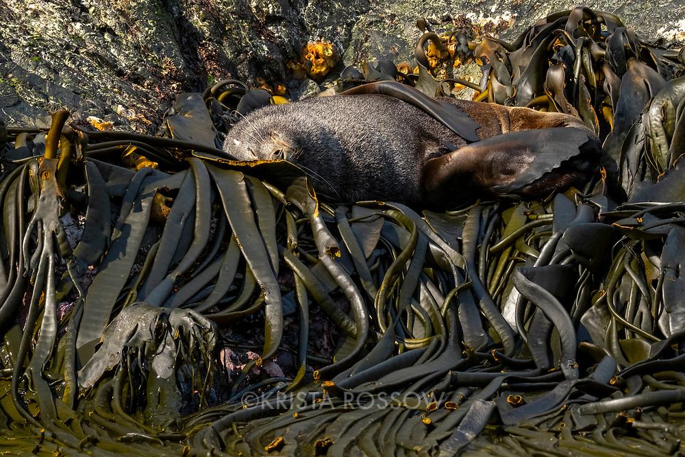 An Antarctic fur seal sleeps on bull kelp along the shoreline of Elsehul, a bay on the northwest coast of South Georgia Island.