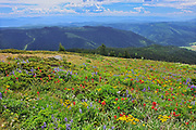 Wildflowers in the alpine zone at the summit of Sun Peaks (Lupines, paintbrush, composite), Sunpeaks near Kamloops, British Columbia, Canada