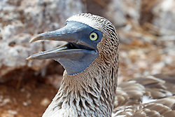 Detailed view of the head of a Blue-footed Boobie (Sula nebouxii) with opened beak, Galapagos Islands National Park, North Seymour Island, Galapagos, Ecuador