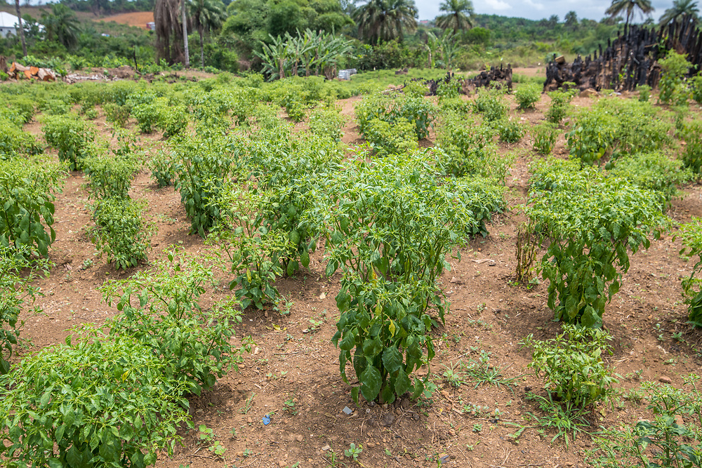 Small Cashew fruit trees (Anacardium occidentale) in the early stages of growth in Ganta, Liberia