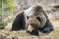 Big male grizzly bear, Banff National Park in the Canadian Rockies