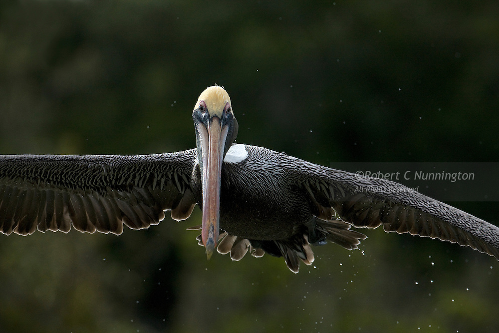 Brown pelican in flight in the Everglades National Park