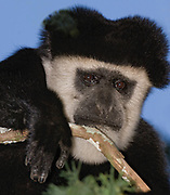 Eastern Black and White Colobus Monkey (Colobus guereza) from Kenya.