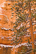 Fresh powder on pine and canyon wall, Bryce Canyon National Park, Utah USA