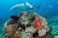 Manta Ray approaches a colorful cleaning station<br /> <br /> Shot in Indonesia