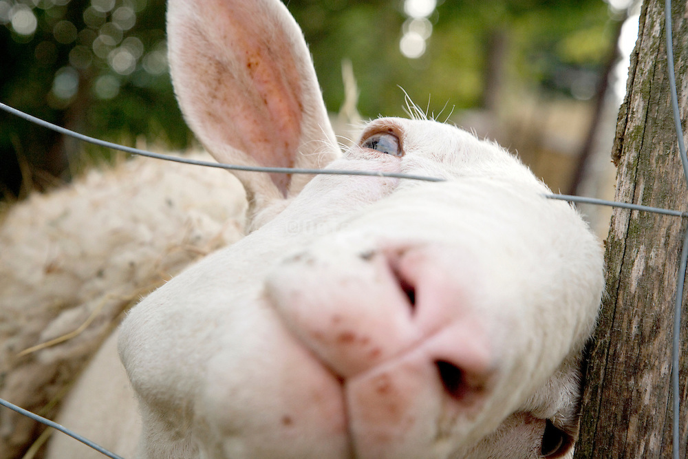 extreme close up of an adult male sheep with nose sticking through the fence