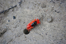 A red-clawed fiddler crab (Uca flammula) defends its territory on the banks of Red Cone Creek on the Kimberley coast.  The males wave their claws in the air to attract females, who will leave their burrows when they are ready to mate, wandering through populations of competing males.