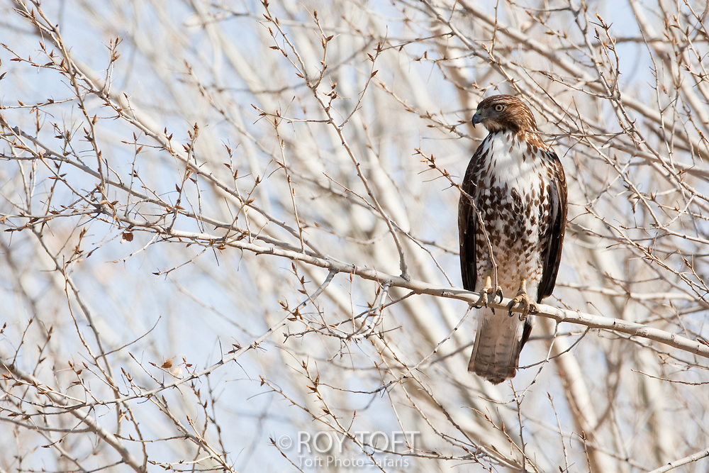 Red-tailed hawk perched on a tree branch in winter, Bosque del Apache, New Mexico