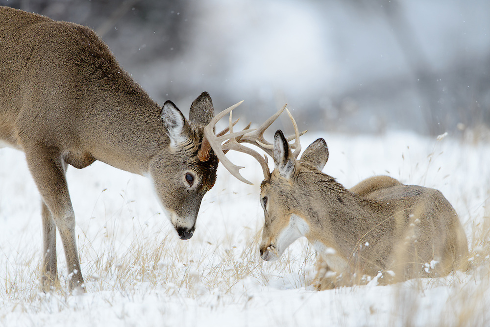 A young white-tailed buck (Odocoileus virginianus) is less interested in sparring than his older companion, Northern Rockies