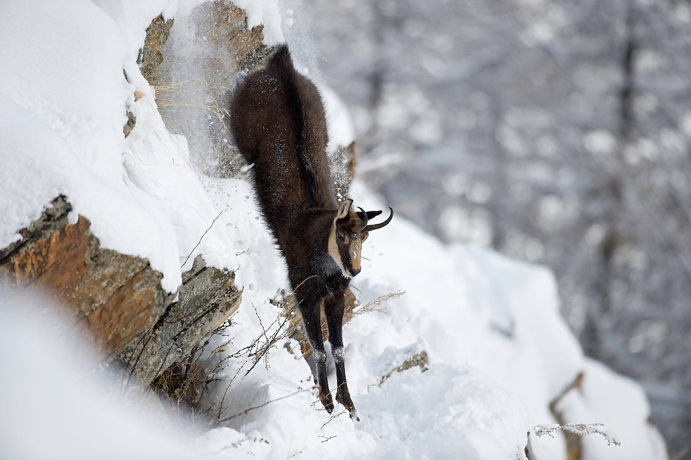 24.11.2008.Chamois (Rupicapra rupicapra) jumping down from a cliff..Gran Paradiso National Park, Italy
