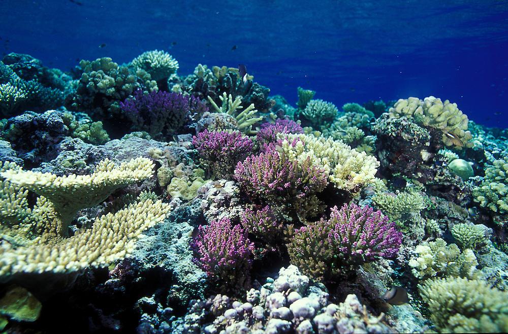 hard coral reef top, Maldives, atolls, islands, tropics, sea life, fish life, holiday, lifestyle, Indian Ocean, blue sky, lagoon, coral reefs