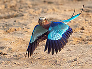 A lilac-breasted roller takes flight in the South Luangwa National Park, Zambia