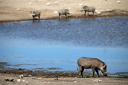 NAMIBIA ETOSHA 1MAY14 - A family of southern warthogs enjoys their time at a waterhole near Namutoni, Etosha National Park, Namibia.<br /> <br /> <br /> <br /> jre/Photo by Jiri Rezac<br /> <br /> <br /> <br /> © Jiri Rezac 2014