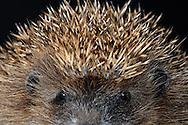 """European Hedgehog (Erinaceus europaeus), quills of a hedgehog. Hedgehogs have an effective defense weapon quills on the back and the flanks (European Hedgehog has 6000 - 8000) These quills are modified, dead skin hair and hollow. Each quill has an Arrector Pili muscle. In case of danger hedgehogs roll itself into a ball. Belly, face and limbs are covered with fur, Lottstetten, Baden-Wuerttemberg, Germany.This picture is part of the series """"Creature's Coiffure""""..Igel (Braunbrustigel) (Erinaceus europaeus) Stacheln eines Igel. Stacheligel haben als wirksame Verteidigungswaffe Stacheln am Ruecken und an den Flanken (beim Braunbrustigel sind es etwa 6000 bis 8000.) Diese Stacheln sind modifizierte, verhornte Haare und hohl. Jeder Stachel ist mit einem Aufrichtemuskel (Musculus arrector pili) ausgestattet. Stacheligel können sich im Bedrohungsfall zu einer Kugel zusammenrollen. Der Bauch, das Gesicht und die Gliedmassen sind bei den Stacheligeln mit Fell bedeckt. Lottstetten, Baden-Wuerttemberg, Deutschland.Dieses Bild ist Teil der Serie ,,Die Frisur der Kreatur""""."""
