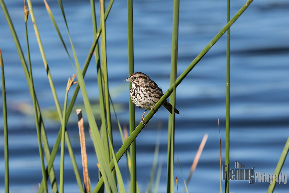 Song sparrow in reeds, Ellis Creek Water Recycling Facility, Petaluma, California