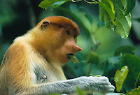 A female proboscis monkey munches on leaves in Kinabatangan Wildlife Sanctuary, Borneo Island.