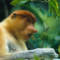 Nat Geo: Borneo's Proboscis Monkeys Smell Trouble