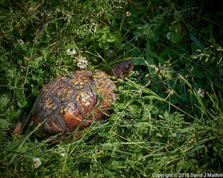 Eastern Box Turtle. Image taken with a Leica CL camera and 55-135 mm telephoto zoom lens.