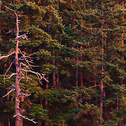 The sun turns the firs of a coastal forest crimson at sunset in La Conner, Washington.