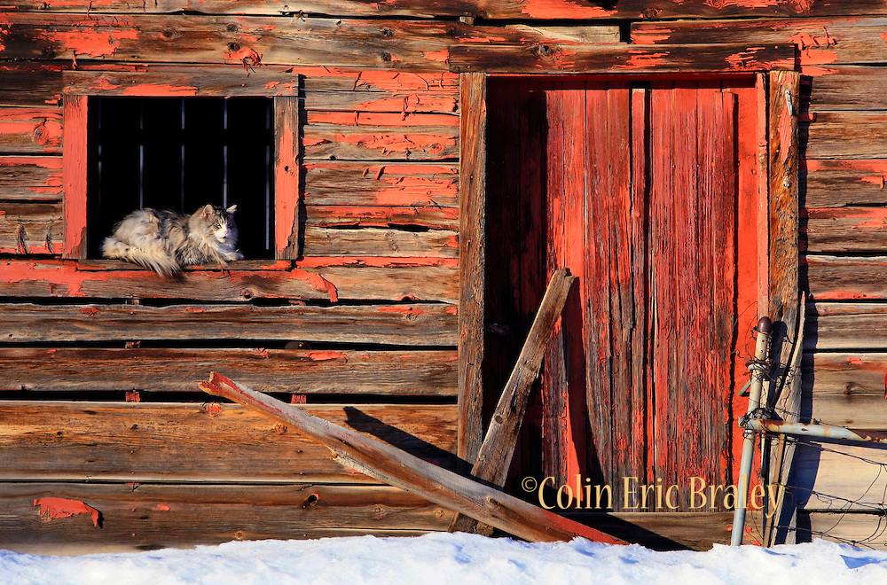 Maine Coon Furry Cat and Old Rustic Barn | COLIN E. BRALEY ...