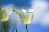 Garden - Tulips crocus - Tulipan krokus