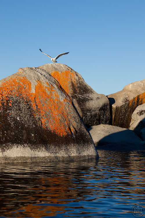 """Seagull on a Tahoe Boulder 1"" - This seagull flapping it's wings while standing on a orange, black, and grey boulder was photographed near Speedboat Beach, Lake Tahoe."