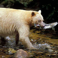 Canada, BC - Great Bear Rainforest 2010