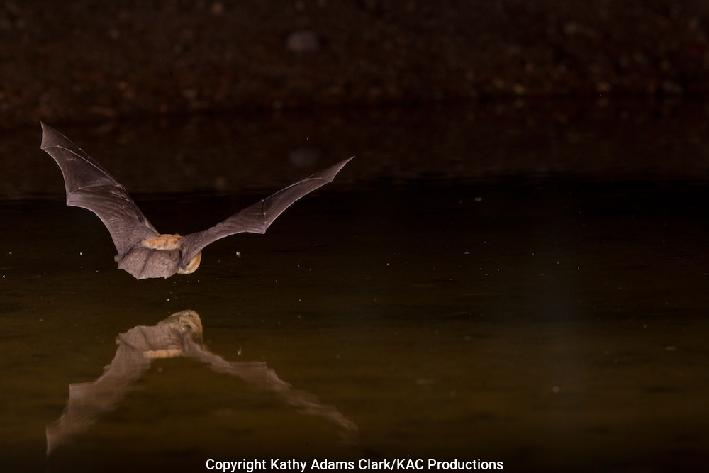 Myotis species, possibly Fringed myotis, Myotis thysanodes, flying over pond at night, southern Arizona.