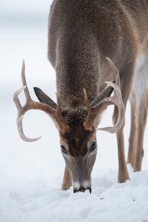 A browsing white-tailed buck (Odocoileus virginianus) in snow, MIssoula, Montana