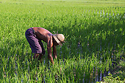 A farmer tending his rice field in Canggu.