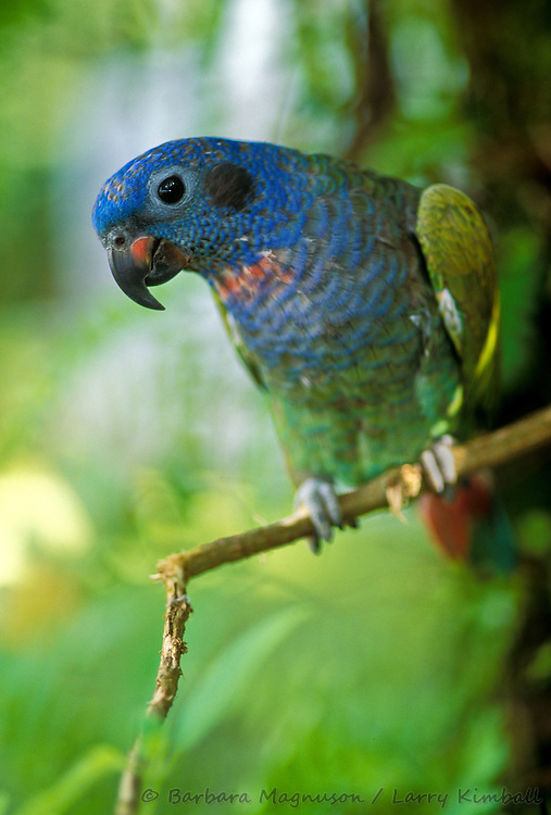 Blue-headed Parrot [Pionus menstruus] pet, allowed to freely range at its home, perches on tree limb; Golfito, Costa Rica