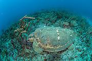 A Loggerhead Sea Turtle, Caretta caretta, sleeps on the coral reef in Palm Beach, Florida, United States