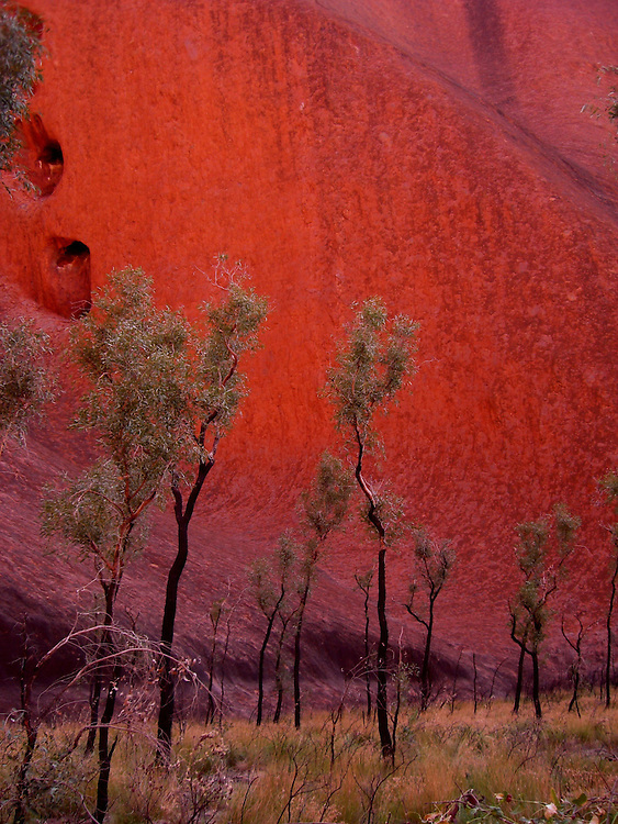 Trees at the base of Uluru, also known as Ayers Rock, Australia.