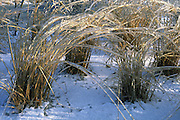 ornamental grass encased in ice
