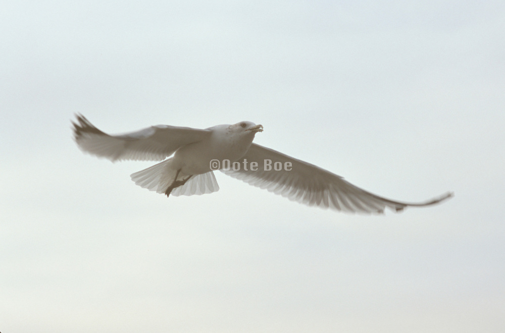 Seagull flying with wings spread wide