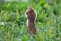 Common Hamster, Cricetus cricetus, Slovakia, Europe, Feldhamster, Cricetus cricetus, Slowakei, Europa