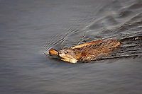 This is the first Muskrat I've come across this spring.  It had a mouthful of some building material that it carried right past me and took into latest construction project.....©2009, Sean Phillips.http://www.Sean-Phillips.com