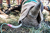 Veterinary assistance being given to a sick White Rhino calf, Sabi Sands Wildtuin, Limpopo Province, South Africa