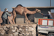 Birqash Camel Market | 2007