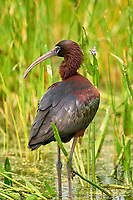 Glossy Ibis (Plegadis falcinellus) preening,  Green Cay Nature Centre, Delray Beach, Floridida, USA   Photo: Peter Llewellyn