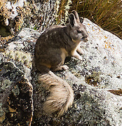 The northern viscacha (Lagidium peruanum) is a cute rodent in the Chinchillidae family. As a day trip by car and foot from Huaraz, hike to Lake 69 (4600 meters elevation, 8 miles round trip with 800 meters gain) in the Cordillera Blanca, Andes Mountains, Peru, South America.