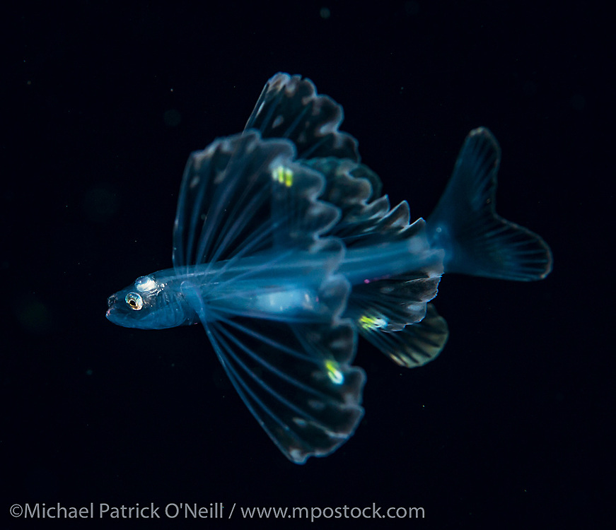 A Tripod Fish juvenile, Bathypterois grallator, drifts in the Gulf Stream far offshore the Florida, Palm Beach coastline late at night. This bizarre fish can be found living in extreme depths exceeding 15,000 ft.