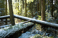 Rare snow falls on Cathedral Grove on Vancouver Island. Douglas Fir trees grow to be 800 years old in this park near Parksville on Vancouver Island, BC