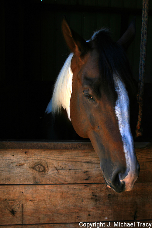A nice head shot of a paint stallion looking out of his stall.
