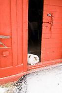 Barn cat, door, red barn, winter, <br /> PROPERTY RELEASED